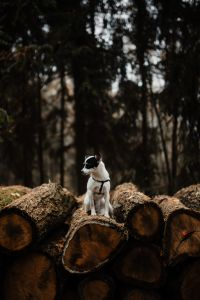 Kaboompics - A small white dog is sitting on a pile of felled wood in the forest