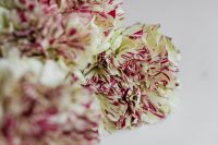 Kaboompics - Carnation Backgrounds