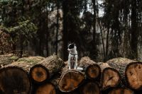 A small white dog is sitting on a pile of felled wood in the forest