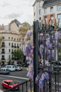 Kaboompics - Wisteria in bloom in Madrid