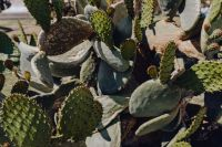 Kaboompics - Big green prickly pear, cactus, opuntia