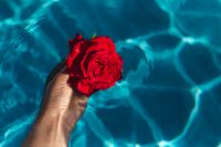 Hand & fresh garden rose on the blue water of a swimming pool