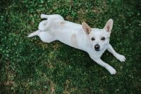 White dog lying on the grass