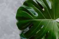 Dark green leaves of monstera and marble