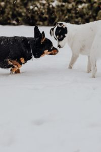 Kaboompics - The white and black dog are playing in the garden on the snow