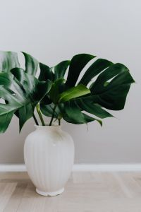 Kaboompics - Dark green leaves of monstera