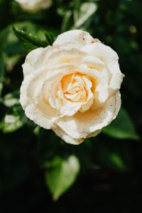 Kaboompics - White rose flower