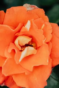 Kaboompics - Orange rose flower
