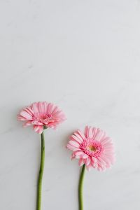 Pink Gerbera Background