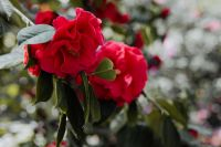 A beautiful blooming red rose in Madrid Botanic Garden