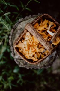 Picking mushrooms chantarelle in the woods