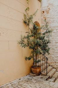 Olive tree in a ceramic pot stands by the stairs, Rovinj, Croatia