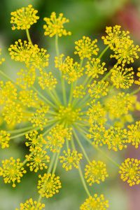 Dill flower - plant