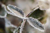 Kaboompics - Sage covered with frost - background - wallpaper