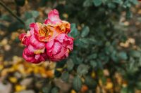 Kaboompics - Pink flower in an autumn garden