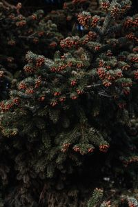 Kaboompics - Coniferous tree