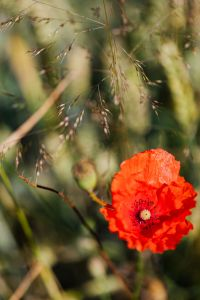 Kaboompics - Poppy flower