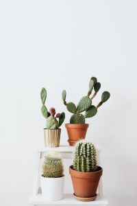 Kaboompics - Mixed Cacti and Opuntiah in a pot on a white background