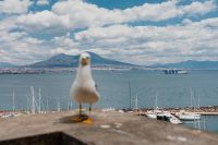 Seagull and in the background volcano Vesuvius, Naples