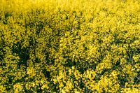 Kaboompics - Rape field on a sunny day