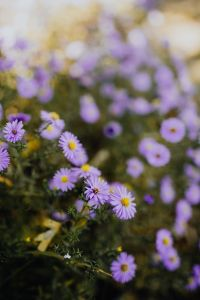 Kaboompics - Small purple flowers in the garden