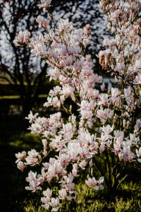 Kaboompics - Magnolia tree in bloom