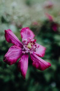 "Kaboompics - Blooming clematis ""Niobe"" in the garden"