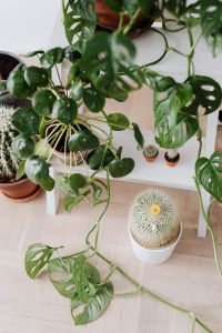 Kaboompics - Monstera Monkey Leaf - Cactus - Pilea