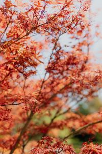 Kaboompics - Red leaves on the bush
