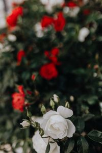 Kaboompics - White and red roses