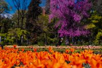 Kaboompics - Orange tulips flowers & blossoming Jacaranda mimosifolia tree