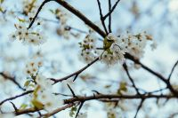 Kaboompics - Little white flowers on branches