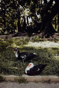 Kaboompics - Ducks in Tropical Botanical Garden in Belem, Lisbon, Portugal