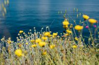 Kaboompics - Wild flowers from Amalfi Coast