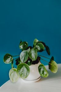 Kaboompics - A small Pilea plant in a white pot