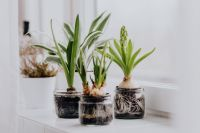 Kaboompics - Hyacinths and Muscari planted in jars