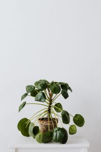 Kaboompics - Pilea in a pot on a white background