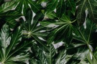 Kaboompics - Aralia Leaves