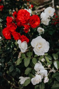 Kaboompics - Red and white rose