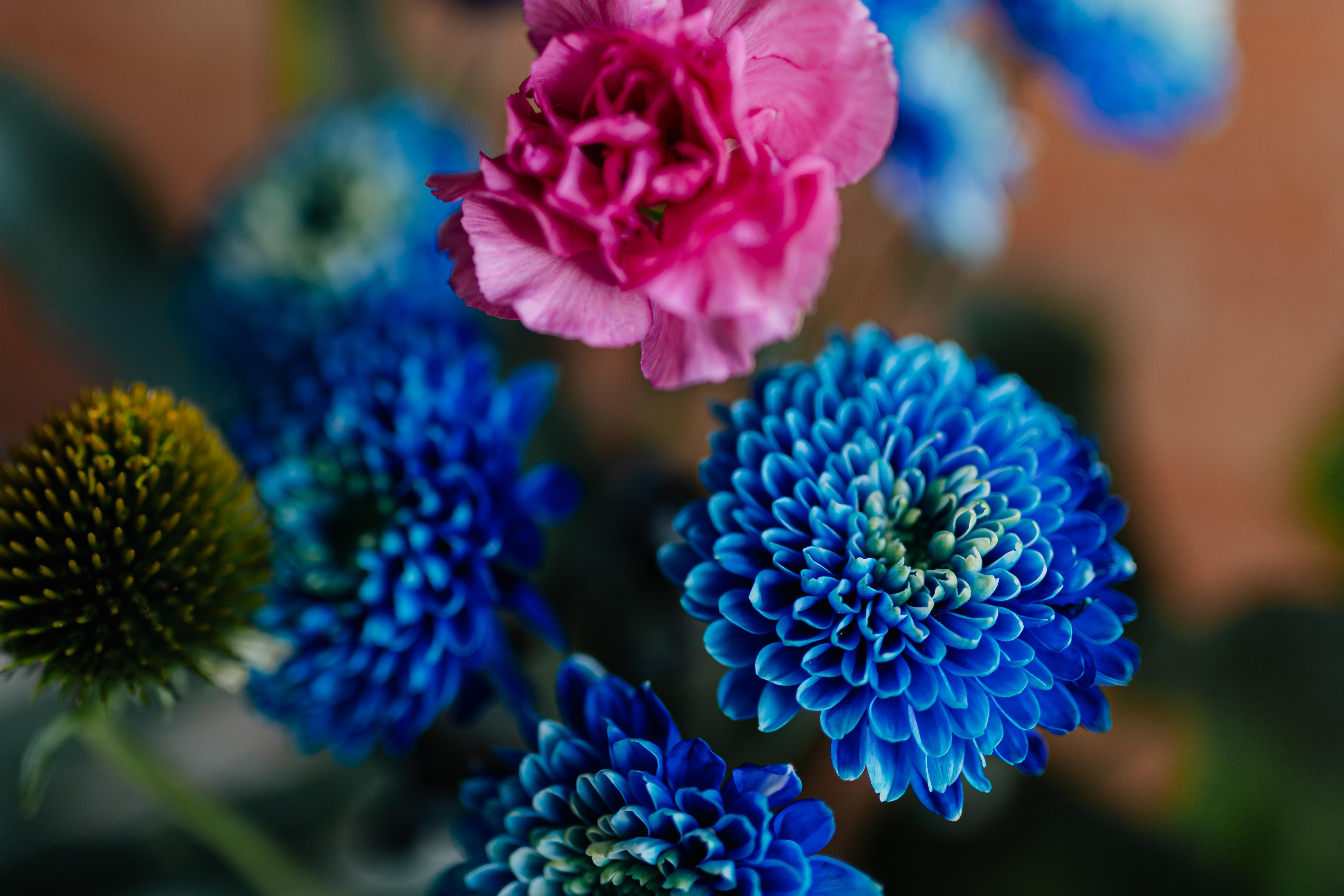 Blue Chrysanthemum morifolium, pink carnation, craspedia globosa, Echinacea, Phlebodium
