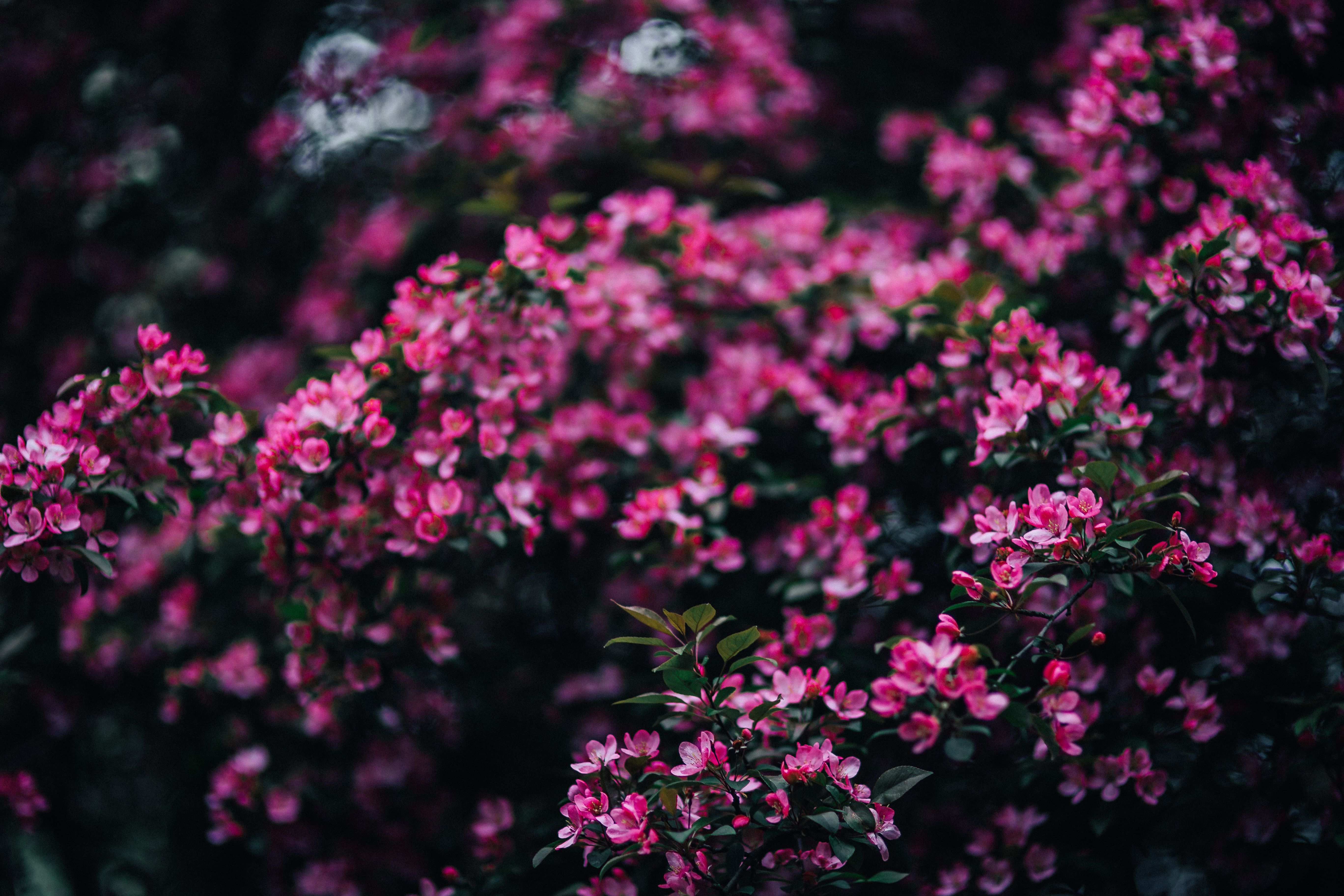 Free stock photos of nature kaboompics lovely pink flowers blooming from the tree branches mightylinksfo